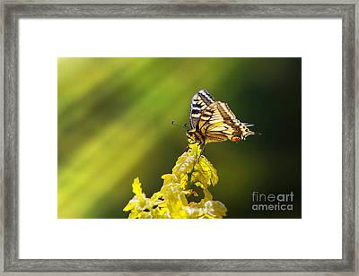 Monarch Butterfly Framed Print by Carlos Caetano