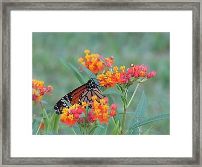 Monarch Butterfly Closeup Framed Print