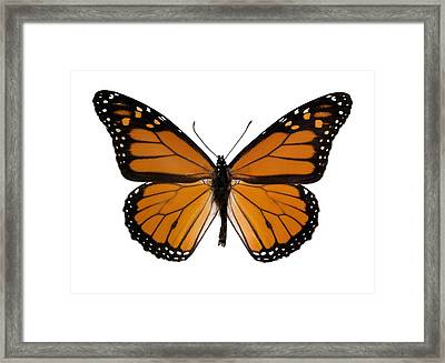 Monarch Butterfly Framed Print by Dr Keith Wheeler