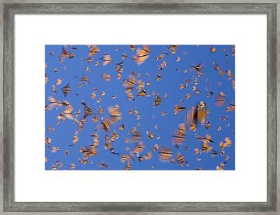 Monarch Butterfly Frenzy Framed Print by Ingo Arndt