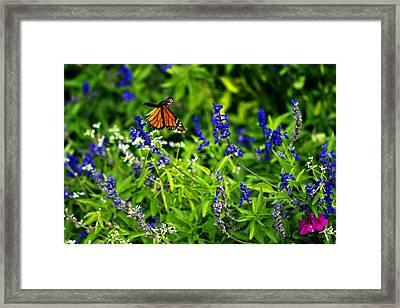 Monarch Butterfly In Flight Framed Print by Douglas Barnard