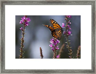 Monarch Butterfly Framed Print by Michel DesRoches