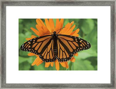 Monarch Butterfly Framed Print by Nancy Nehring