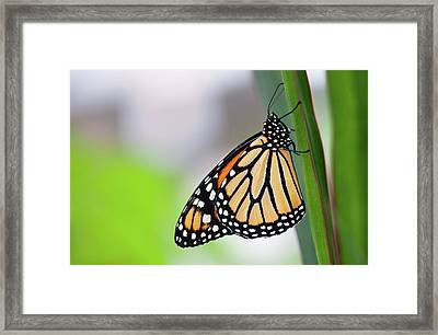 Monarch Butterfly On Leaf Framed Print by Pndtphoto