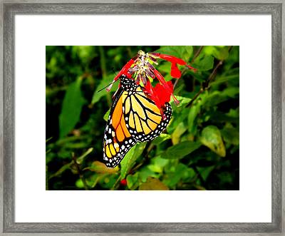 Framed Print featuring the photograph Monarch Butterfly On Red Flowers by Jodi Terracina