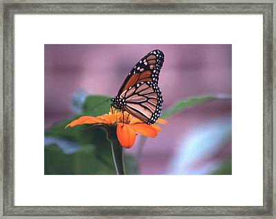 Framed Print featuring the photograph Monarch Butterfly On Tithonia Sunflower by Tom Wurl