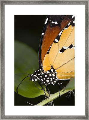 Monarch Butterfly Framed Print by Power And Syred