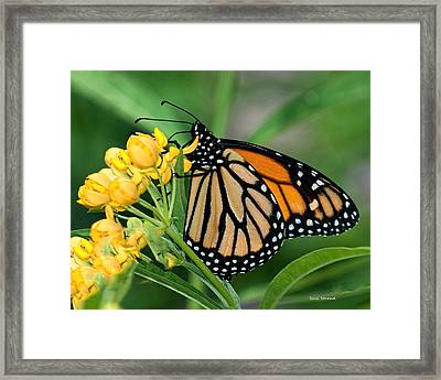 Framed Print featuring the photograph Monarch Butterfly by Susi Stroud