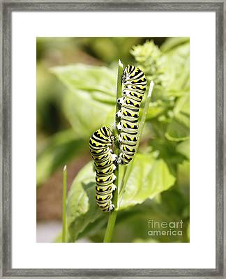Monarch Caterpillars Framed Print by Denise Pohl