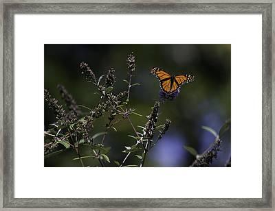 Monarch In Morning Light Framed Print by Rob Travis