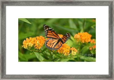 Monarch In Motion Framed Print