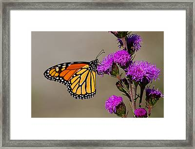 Monarch Framed Print by Mircea Costina Photography