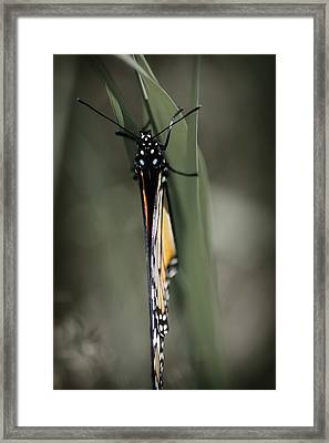 Monarch On A Blade Of Grass Framed Print