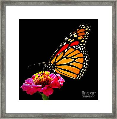 Monarch On Zinnia Framed Print by John From CNY