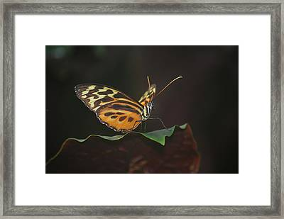 Monarch Perch Framed Print