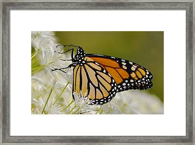 Monarch  Framed Print by Rodney Campbell