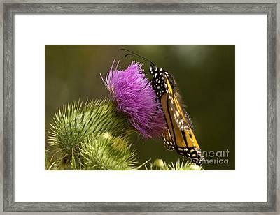 Monarch Thistle Munching Framed Print by Darleen Stry