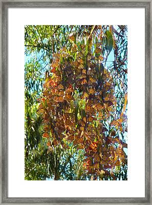 Monarchs At Rest Framed Print