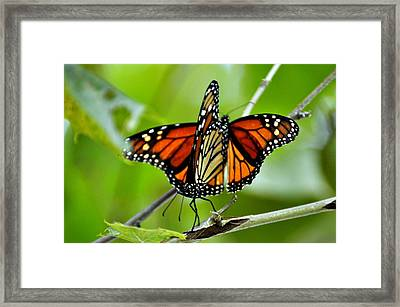 Monarchs Deluxe Framed Print by Marty Koch
