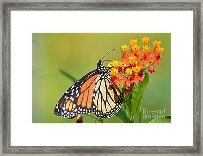 Monarchs Polka Dots Framed Print by Kathy Gibbons