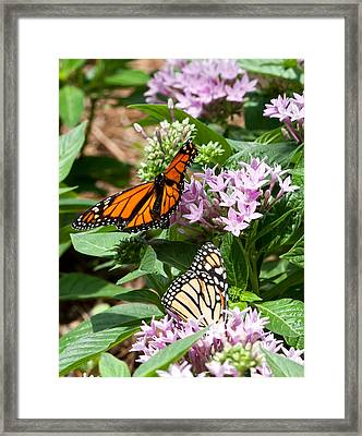 Framed Print featuring the photograph Monarchs by Susi Stroud