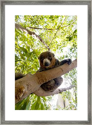 Mongoose Lemur Framed Print by Fabrizio Troiani