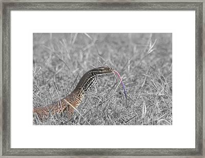 Monitor Lizard Framed Print by Douglas Barnard