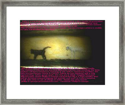 Monkey And Christmas Calf  Framed Print