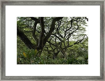 Monkeypod Trees II Framed Print by Kathy Schumann