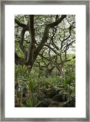Monkeypod Trees Framed Print by Kathy Schumann