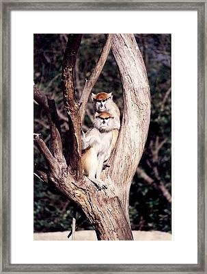 Monkeys In The Tree Framed Print