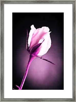 Monochrome Pink Rose Framed Print by M K  Miller