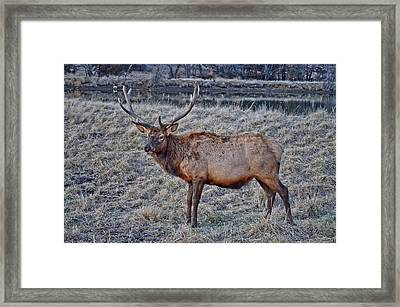 Moose 2 Framed Print by Brenda Becker
