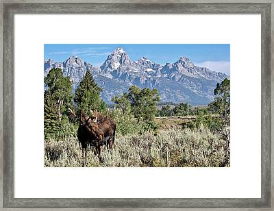 Moose And The Grand Framed Print by Rodney Cammauf