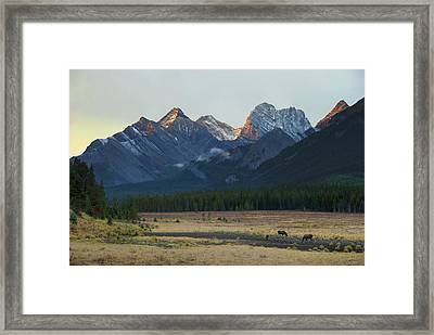Moose Grazing At Sunset With Mountains Framed Print by Philippe Widling
