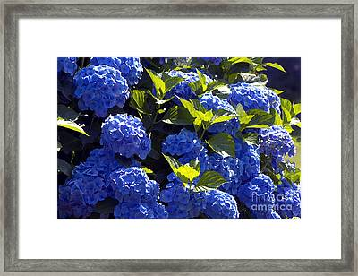 Mophead Hydrangeas Dry Brushed Framed Print by Sharon Talson