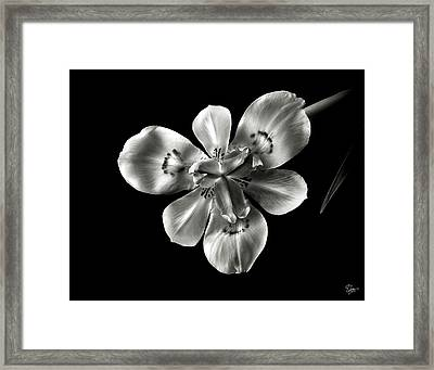 Morea Lily In Black And White Framed Print