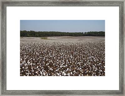 Morgan County Cotton Crop Framed Print by Kathy Clark