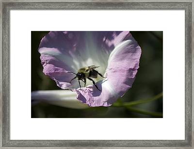 Morning Bumblebee Framed Print by Michel DesRoches