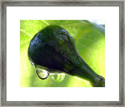 Morning Dew Figs Framed Print by Karen Wiles