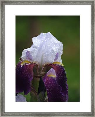 Morning Dew Iris Framed Print by Rebecca Overton