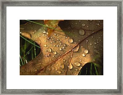 Morning Dew On Oak Leaf Framed Print