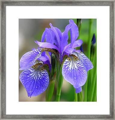 Morning Dew On Siberian Iris Framed Print by Anne Gordon