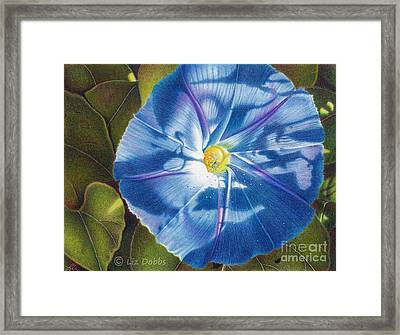 Morning Glory B Framed Print by Elizabeth Dobbs