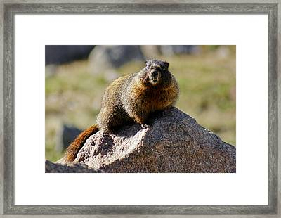 Morning Marmot Framed Print