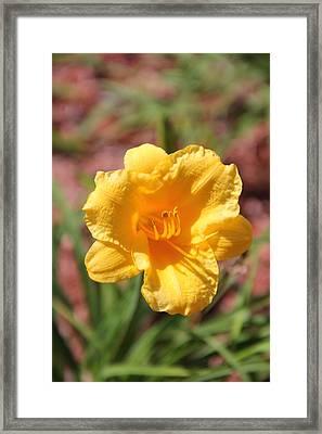 Morning Primrose Framed Print