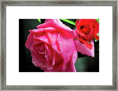 Morning Rose Framed Print by Barry Jones