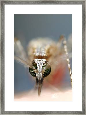 Mosquito Feeding Framed Print by Sinclair Stammers