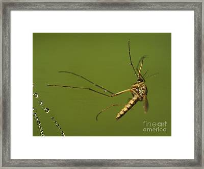 Mosquito Framed Print by Odon Czintos