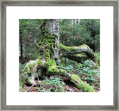Moss Covered Tree Roots Framed Print